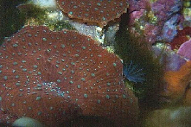Spotted Mushroom Corals (Discosoma sp.)