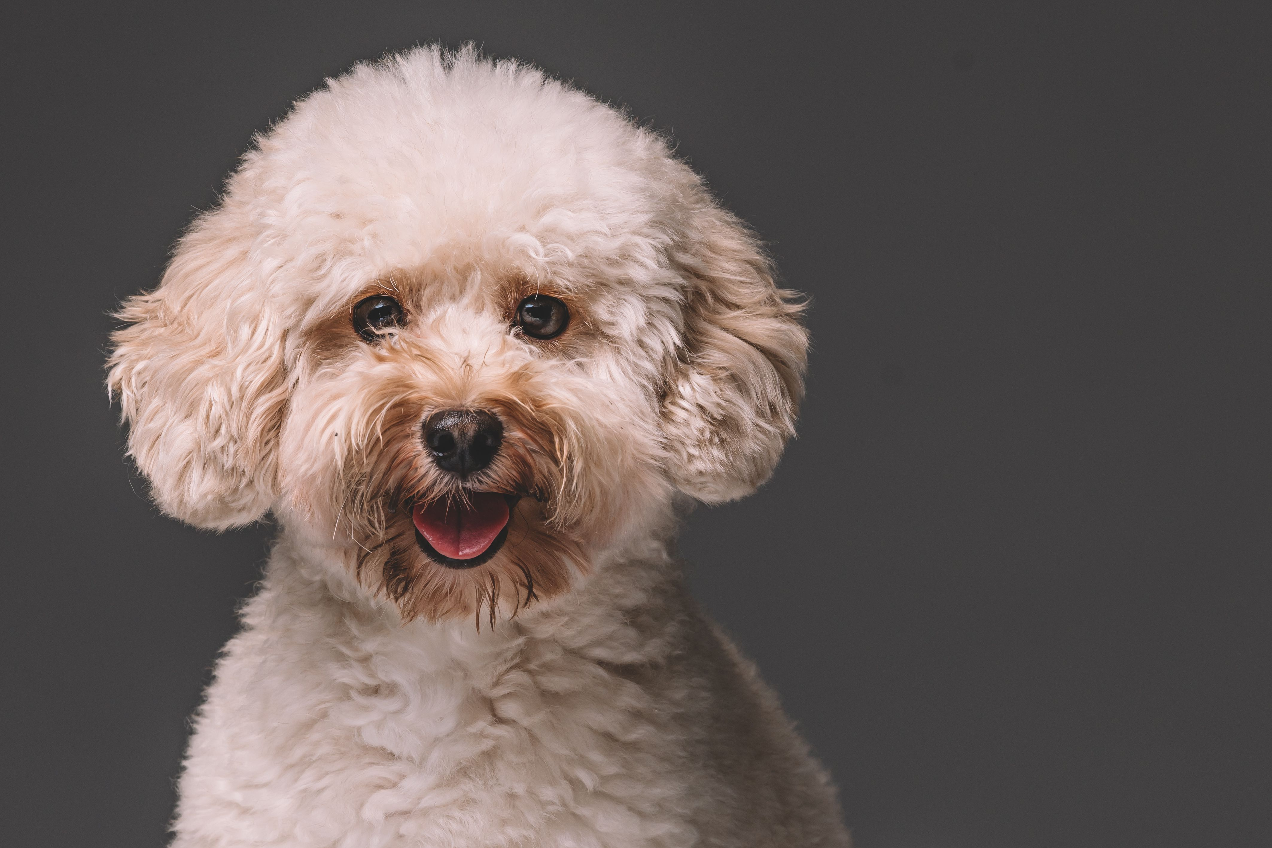 Poodle   Cavapoo puppies, Poodle puppy, Cute dogs and puppies