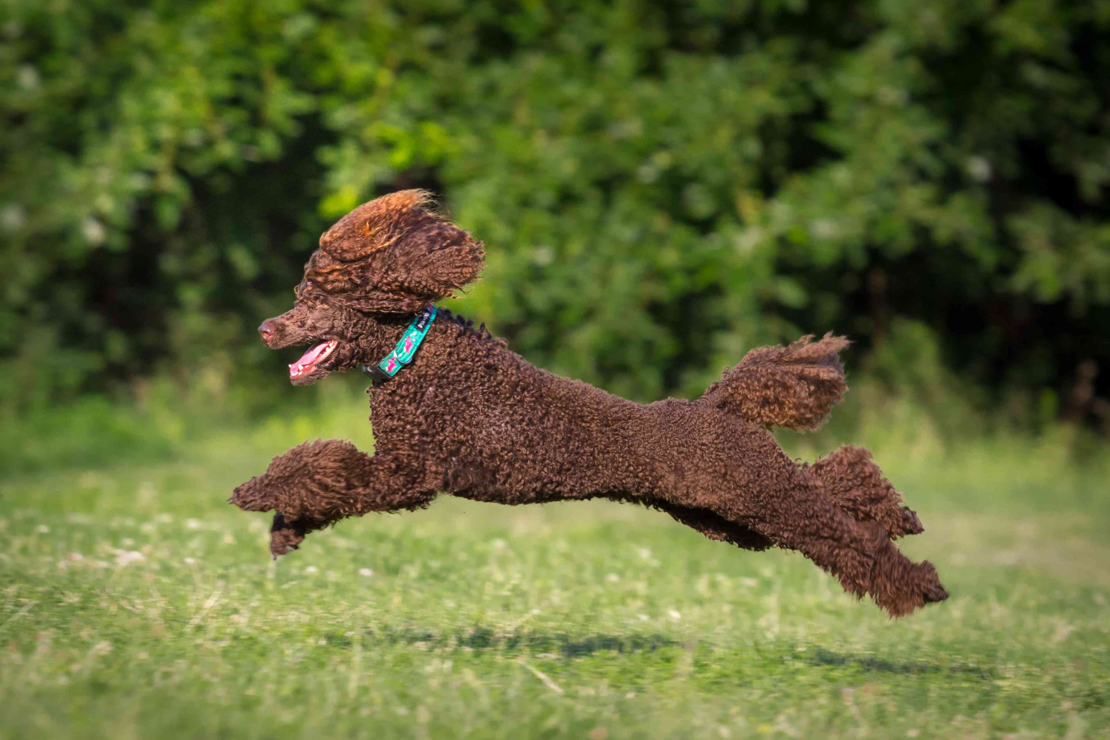 Brown poodle running on grass