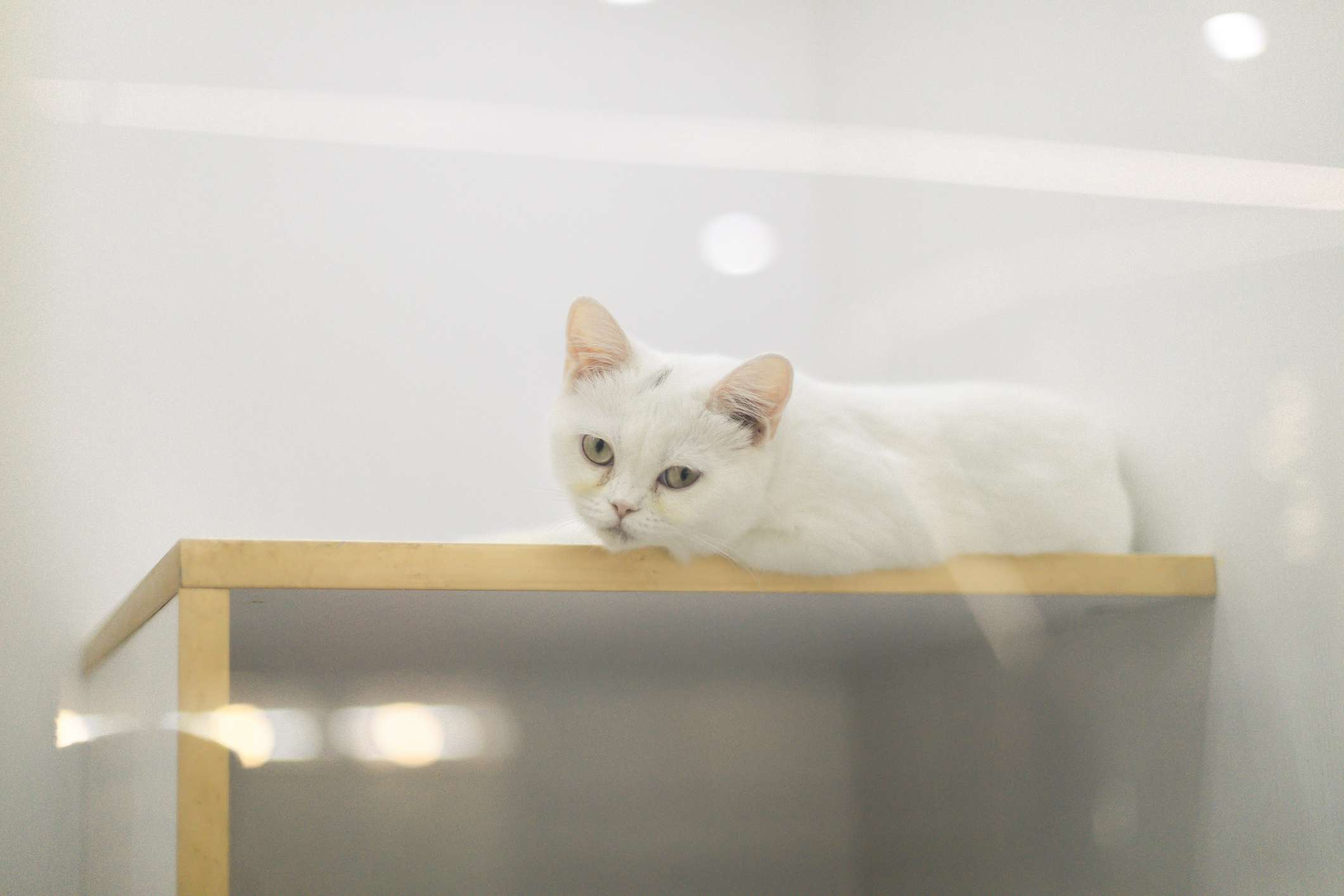 Asian (Malayan) cat