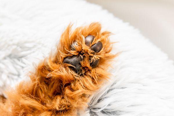 Dog paw with light brown fur facing up on dog bed closeup