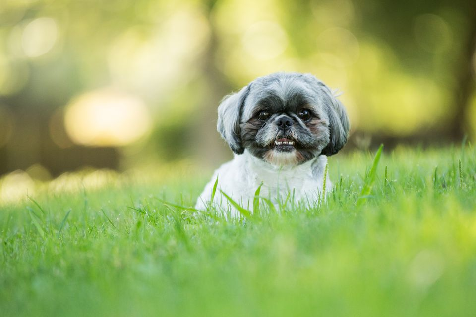 Smiling shih tzu dog laying down outdoors