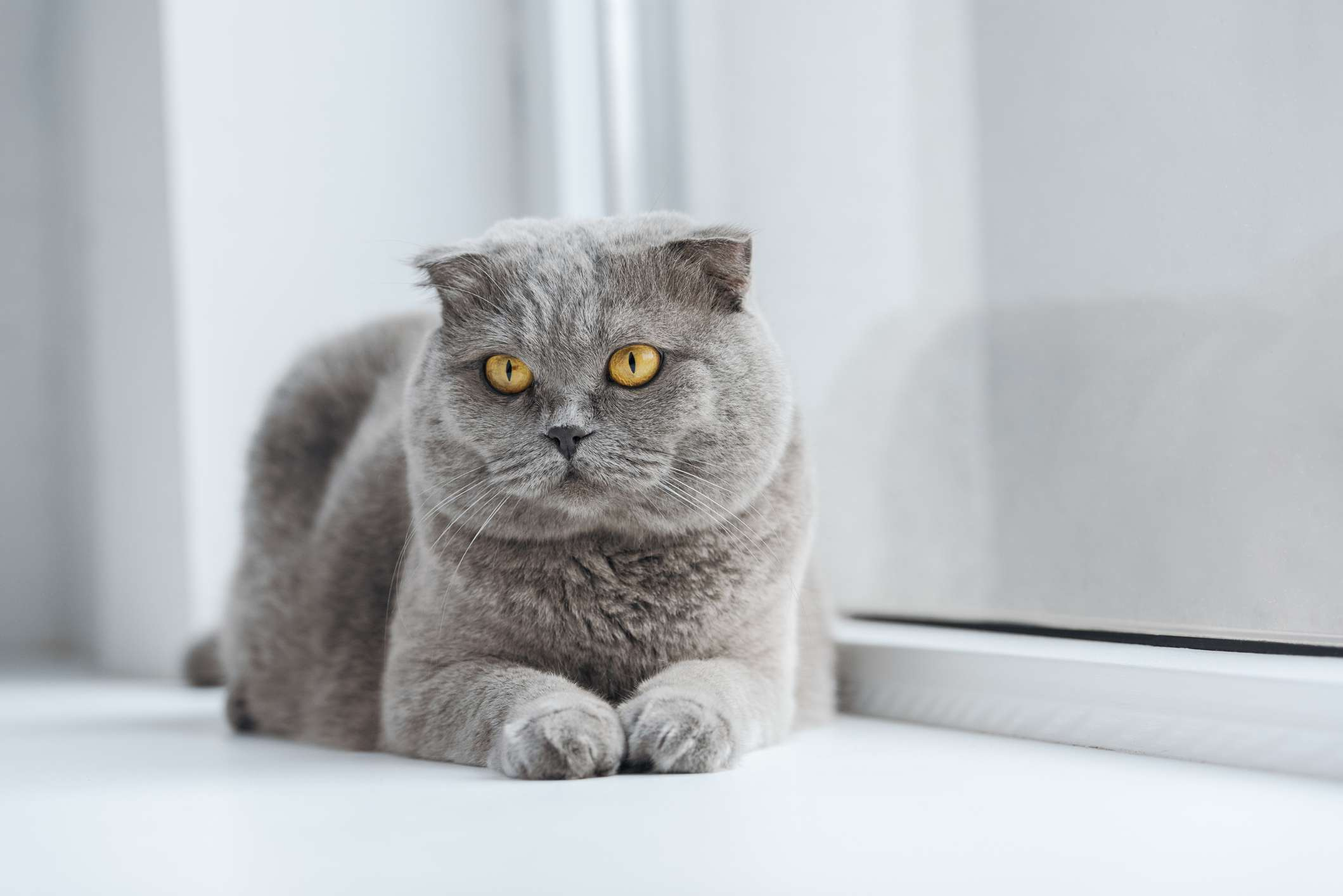A gray cat with folded-forward ears and yellow eyes.