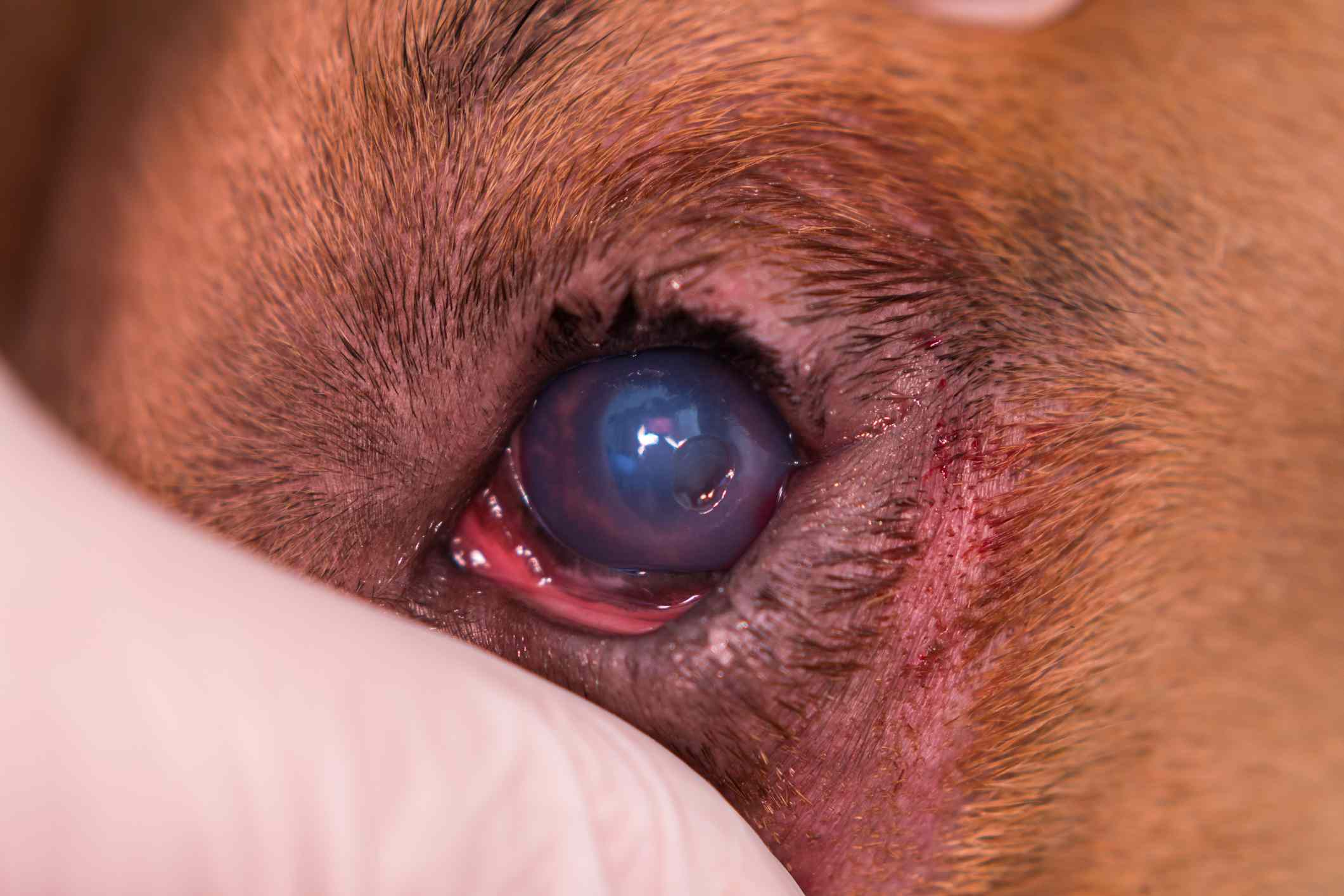dog with entropion and corneal ulcer