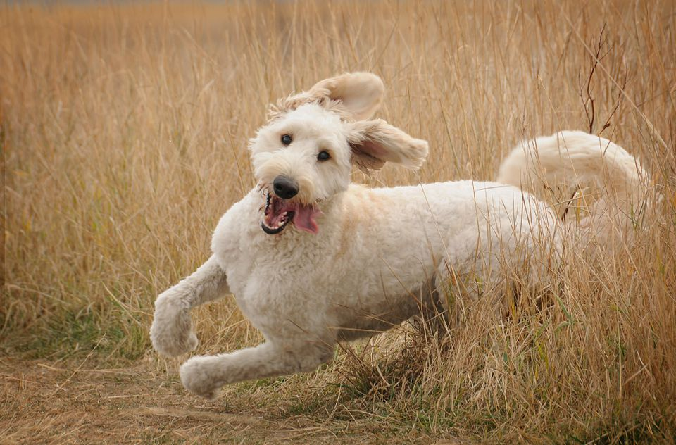 Running goldendoodle