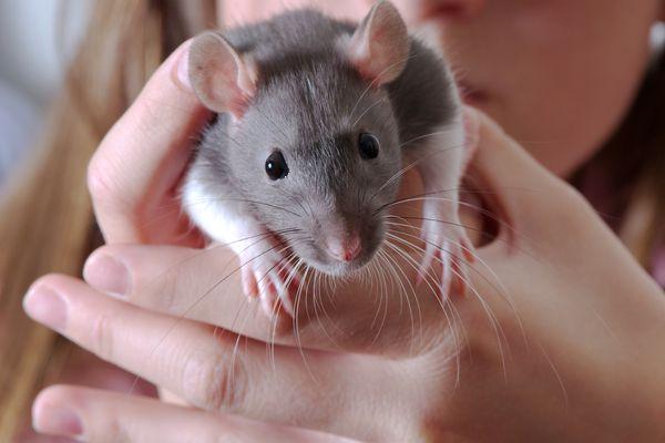 Pet rat being held
