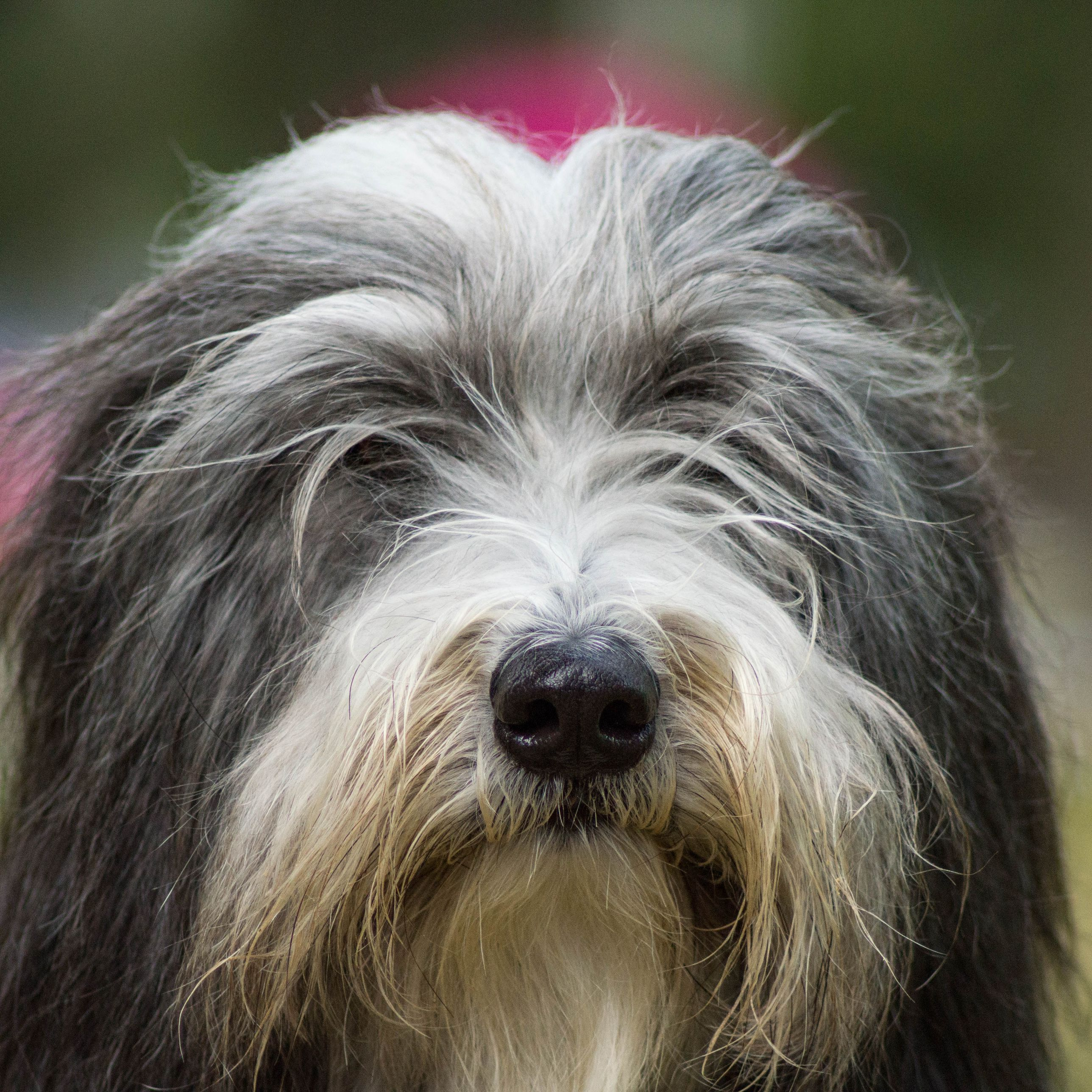 Bearded Collie Full Profile History