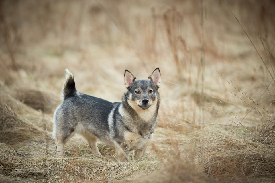 Portrait Of Swedish Vallhund Standing On Field