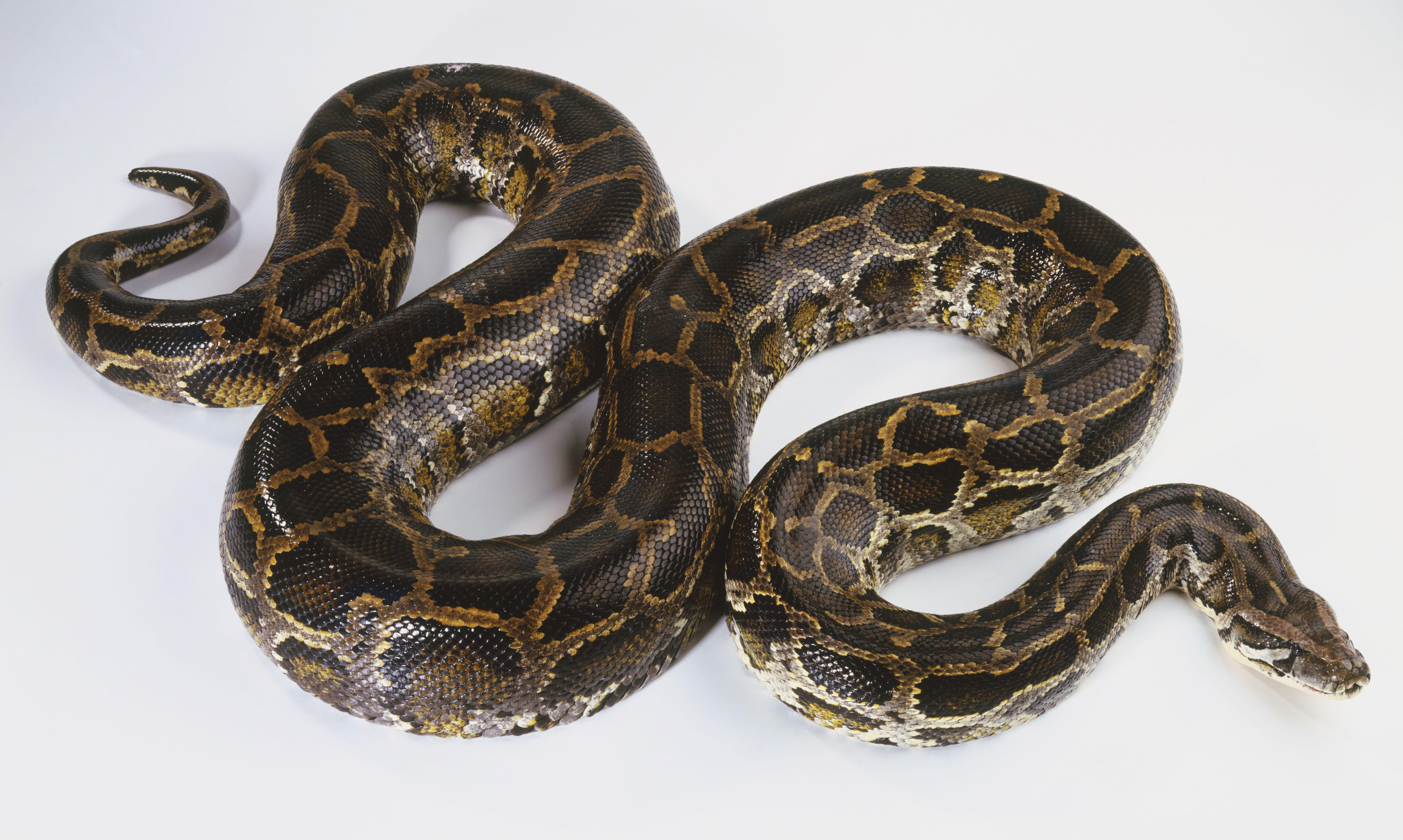Python birmano deslizándose (Python molurus), vista desde arriba.