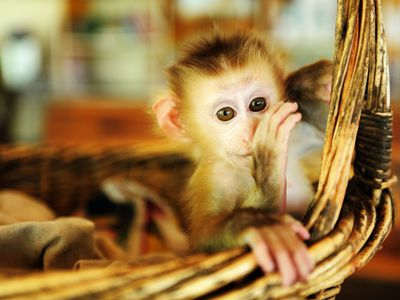 Keeping and Caring for Pet Capuchin Monkeys cf229e5a72d0