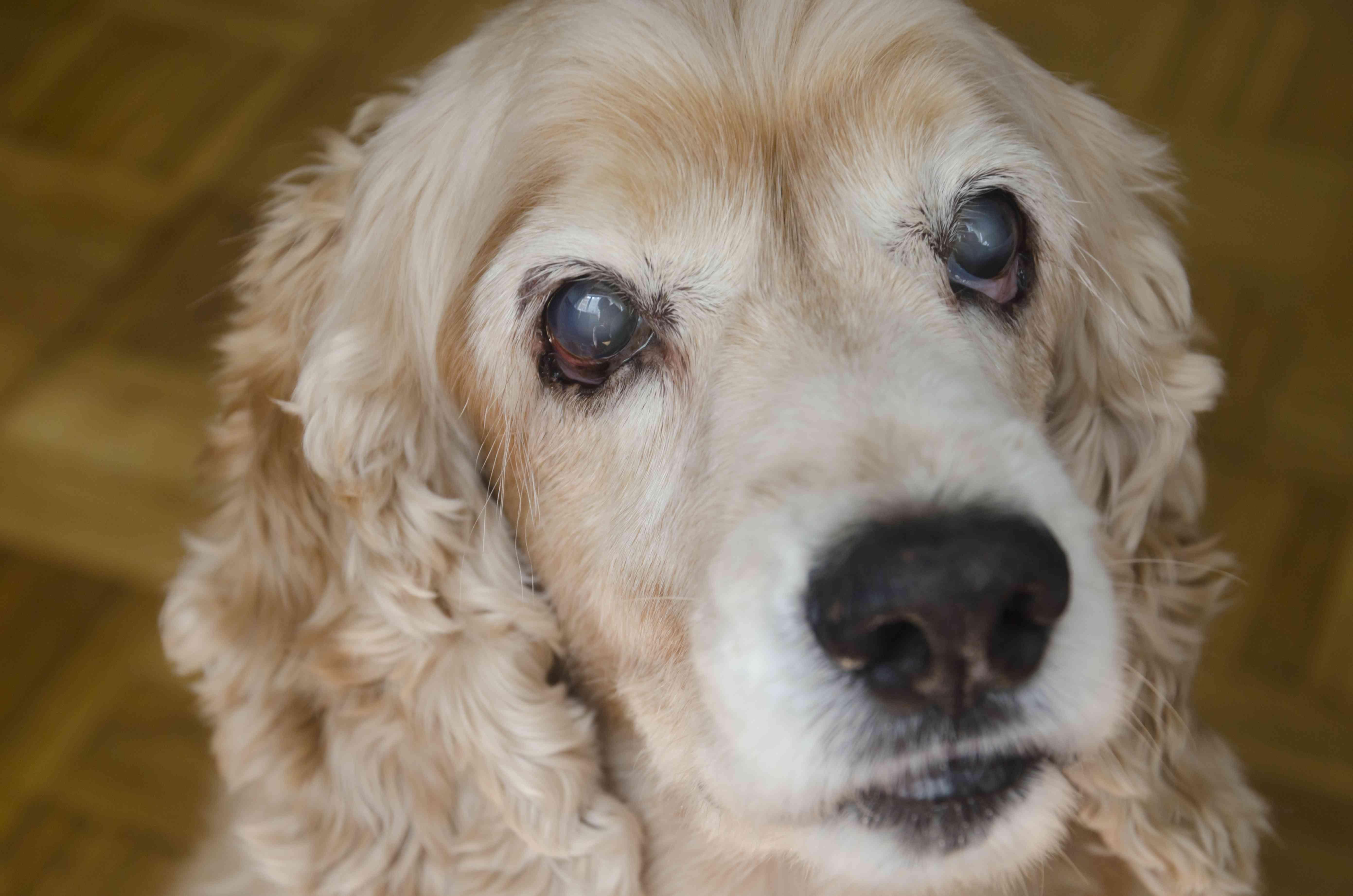 Blind senior dog, portrait