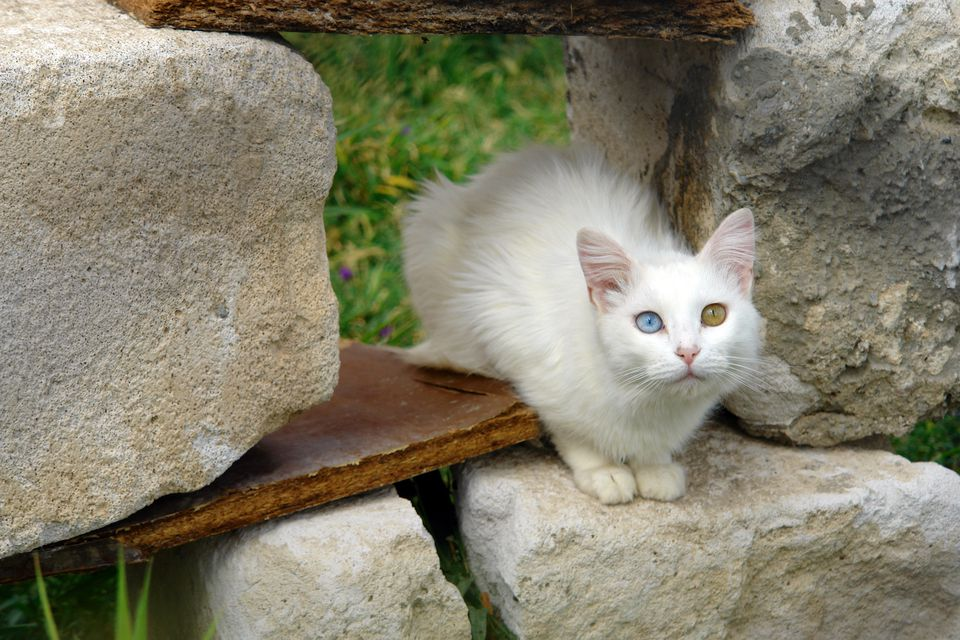 turkish van cat outside