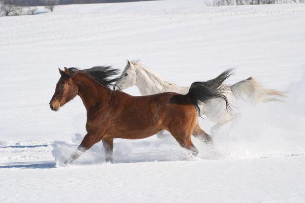 Horses Running Across Snowy Field in Sunlight