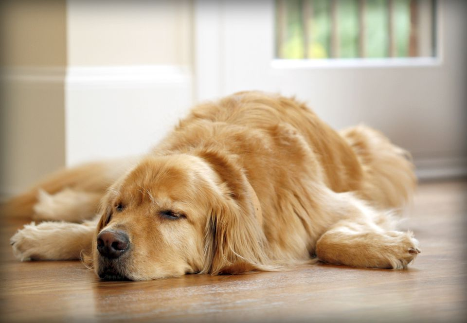 Golden Retriever sleeping