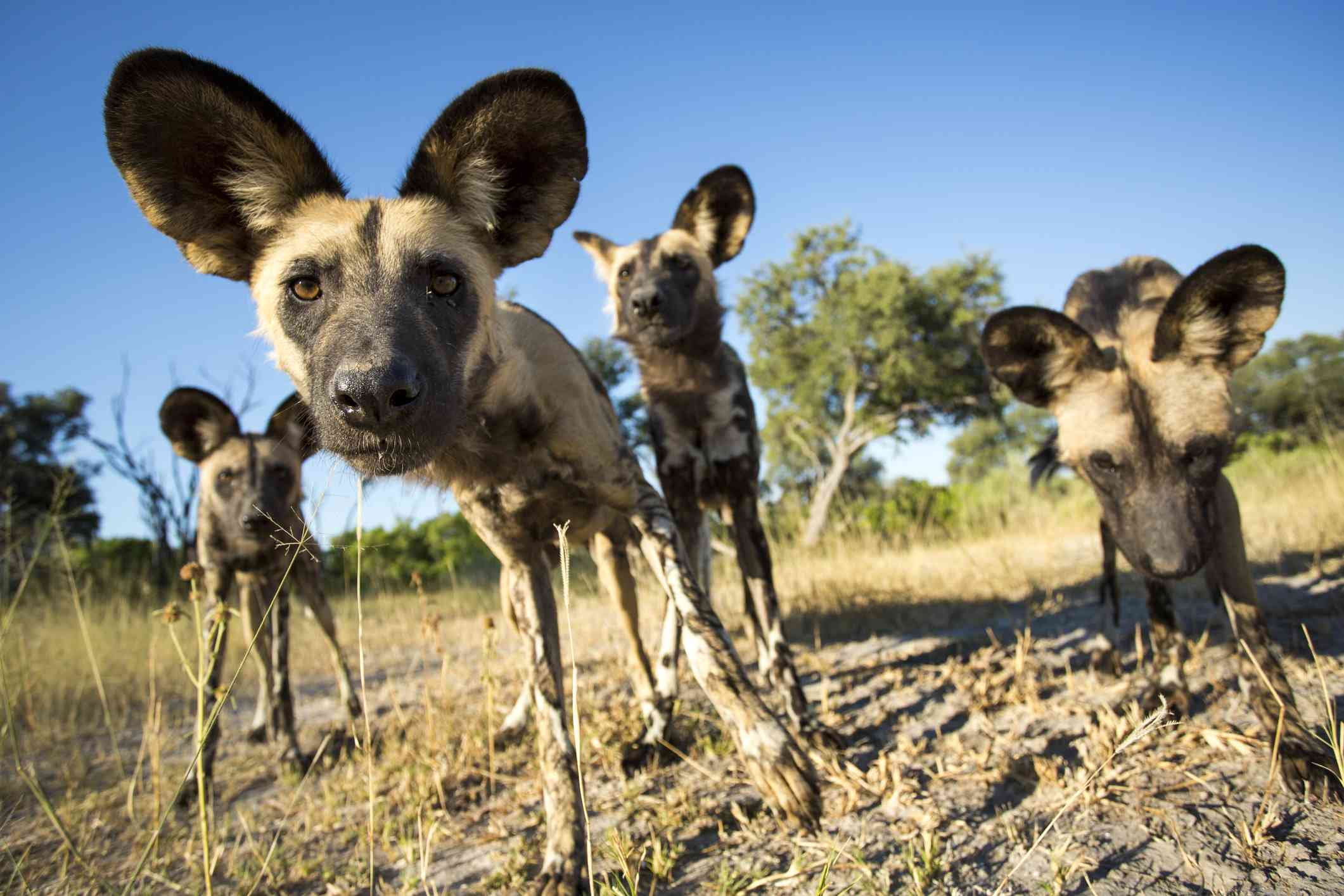 Spotted wild dogs with large round ears looking close at the camera.