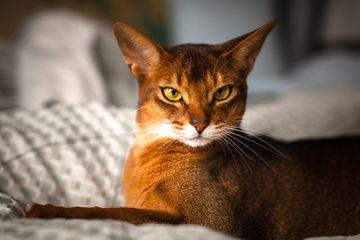 Abyssinian cat headshot
