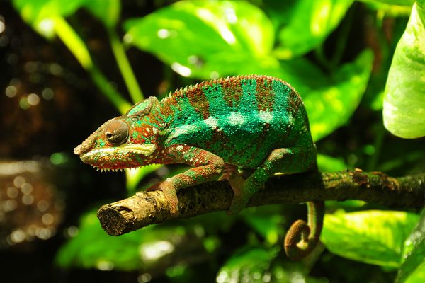 Panther chameleon on branch within greenery
