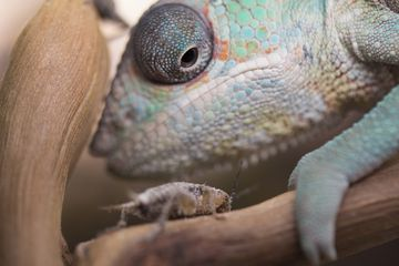 Chameleon looking at a cricket up close.