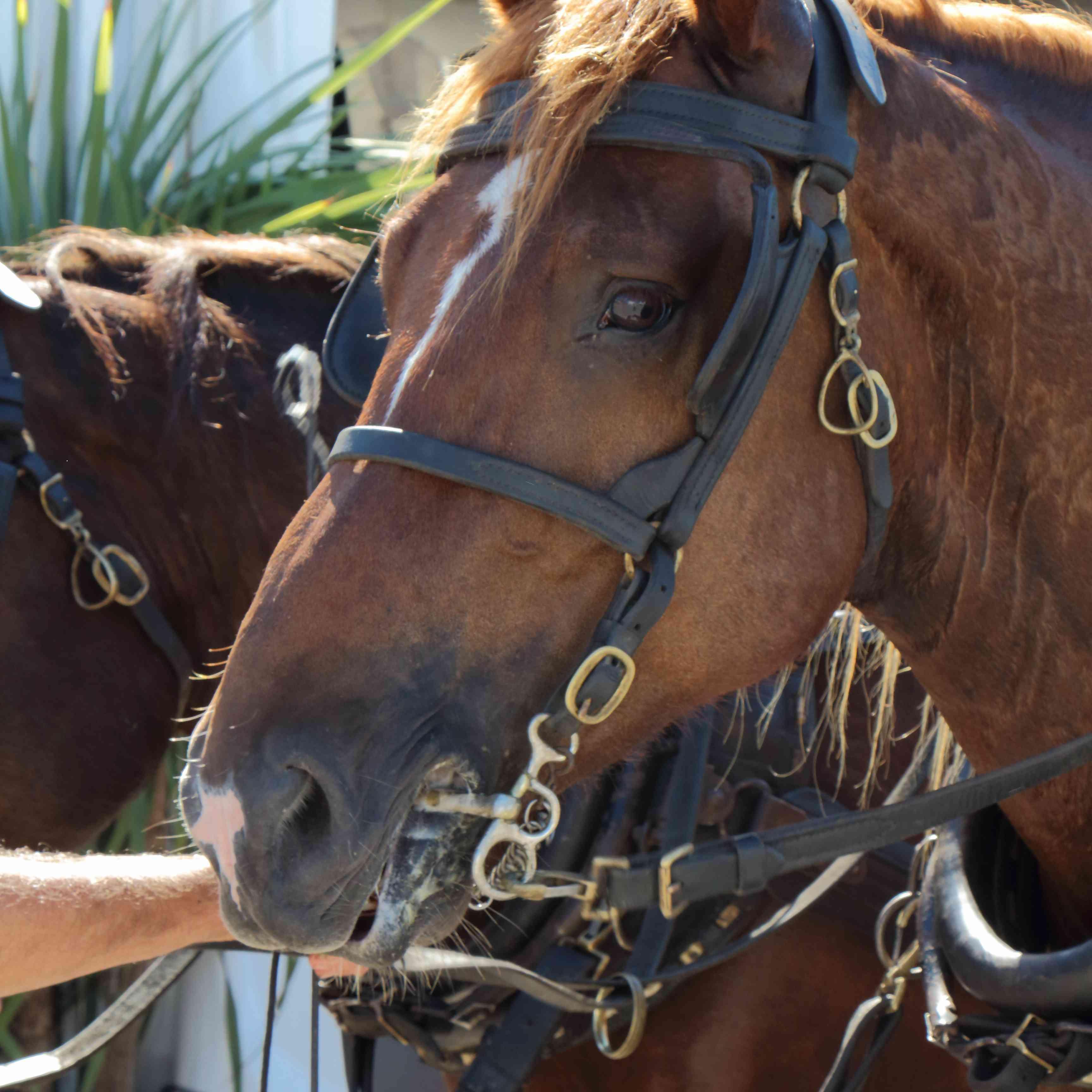 Chestnut Breton horse in driving harness