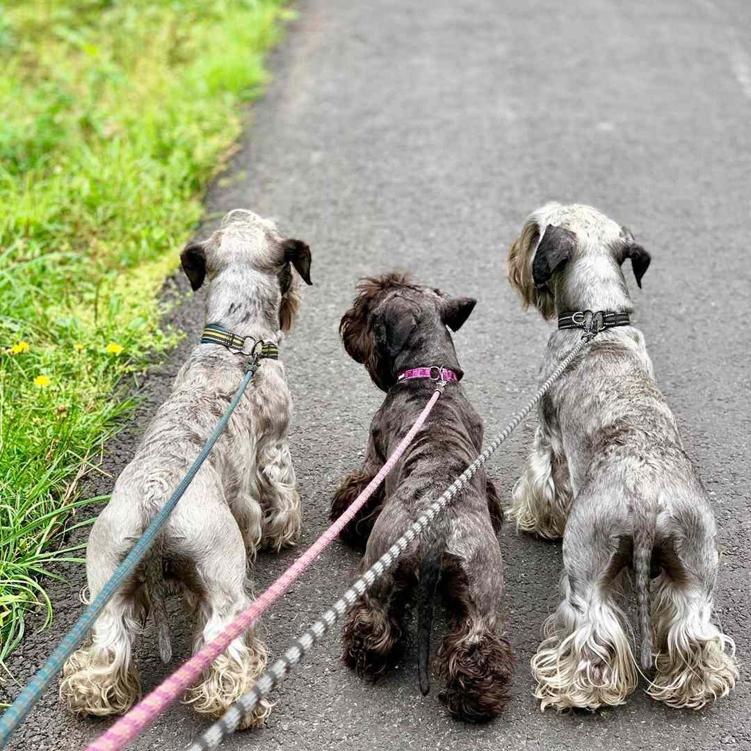 Three Cesky terriers with varying coats