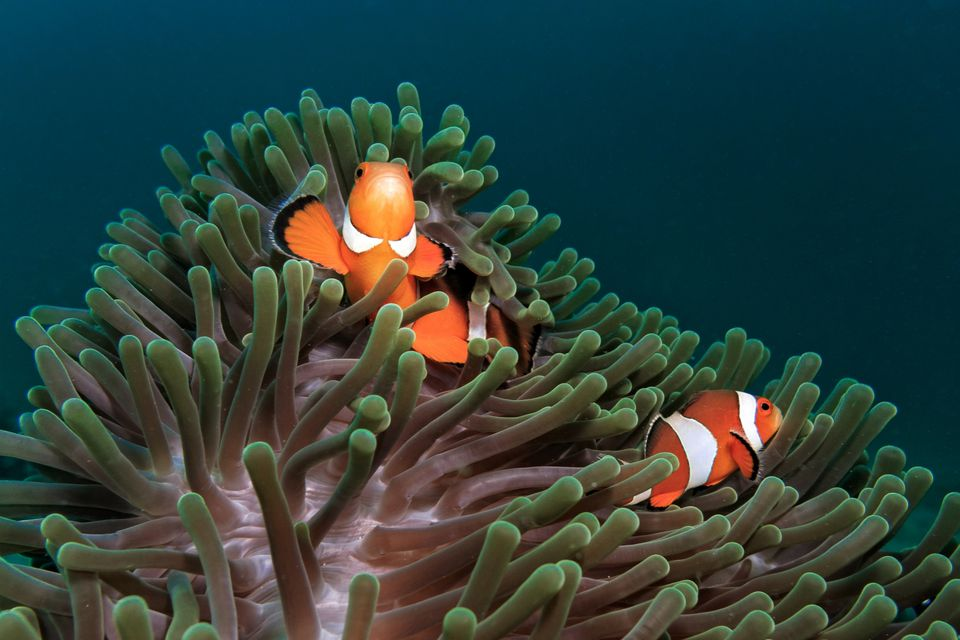 Ocellaris Clownfish and Anemone
