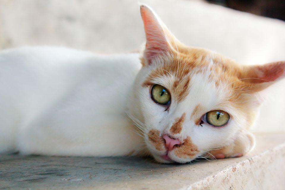 Gato blanco y naranja mirando a la cámara de cerca