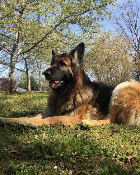 16 Cute German Shepherd Dogs Puppies