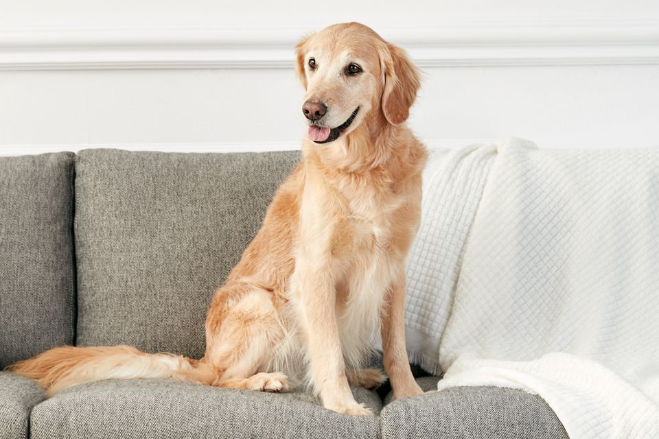 A Golden Retriever lounging on a couch