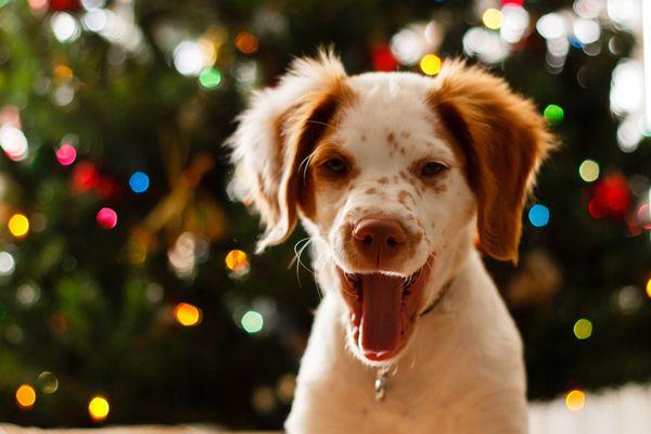 Portrait Of Dog Against Christmas Tree