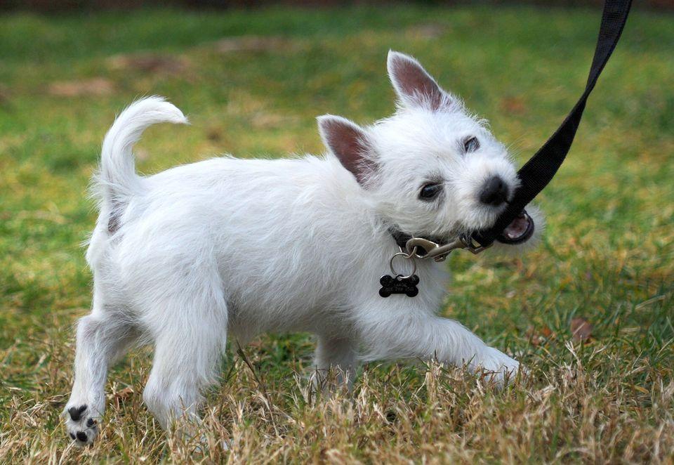 El joven e inteligente cachorro Westie lleno de energía tira de su correa.