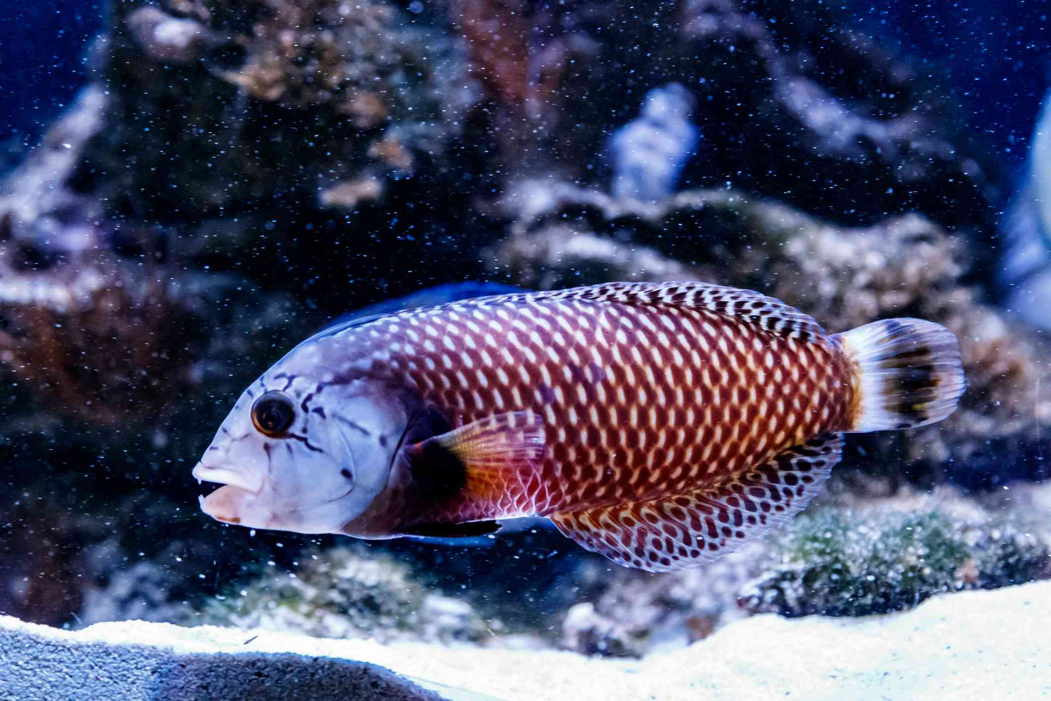 Dragon Wrasse in front of coral
