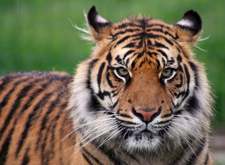 how to care for your pet tiger