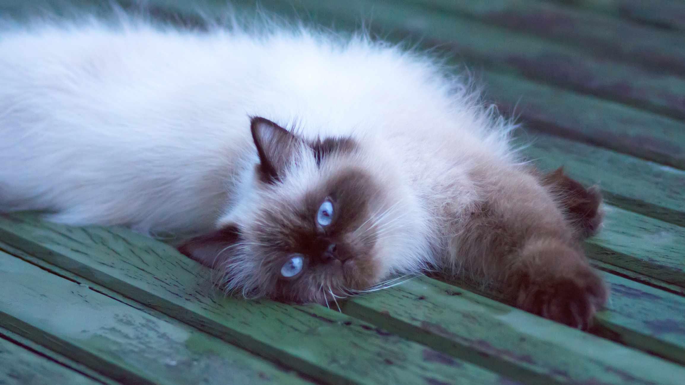 Himalayan cat lying on a green deck
