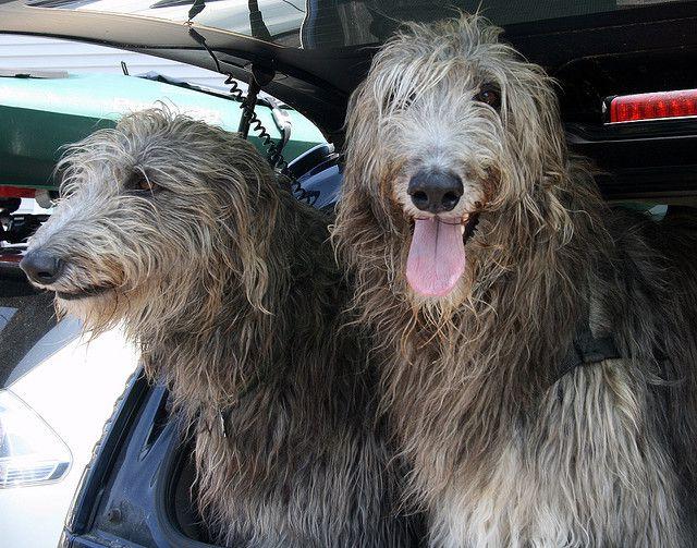 Scottish Deerhound Dog Breed Picture - Scottish Deerhound Photo