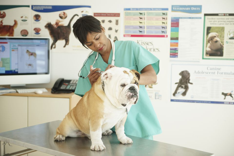 Vet vaccinating a bulldog in a vet's office.