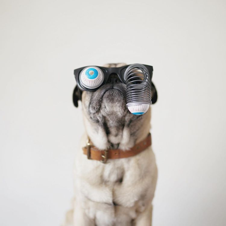 A pug in front of a white background wearing googly eye glasses.