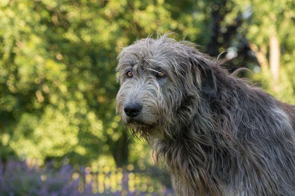 Grey Irish wolfhound portrait