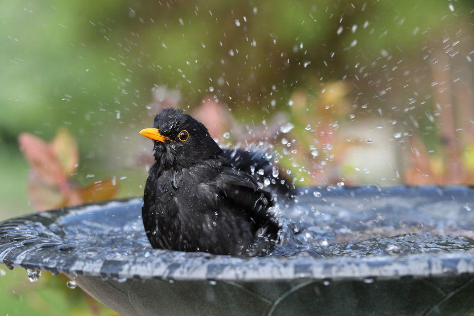 Blackbird having a bath