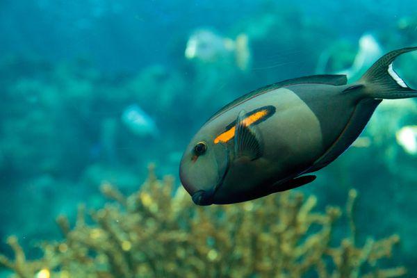 Orange shoulder tang fish
