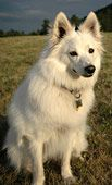 You Talkin to Me? American Eskimo dog by KellyWoolen on Flickr