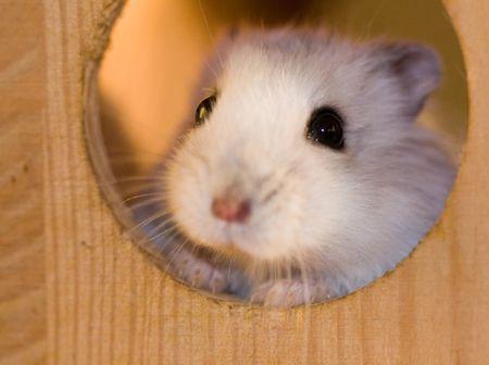 Breeding Data for Dwarf Russian Hamsters
