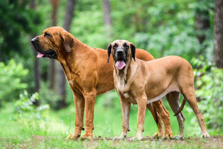 Two Fila Brasileiro standing in a forest