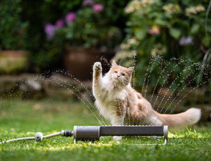 cat garden lawn sprinkler