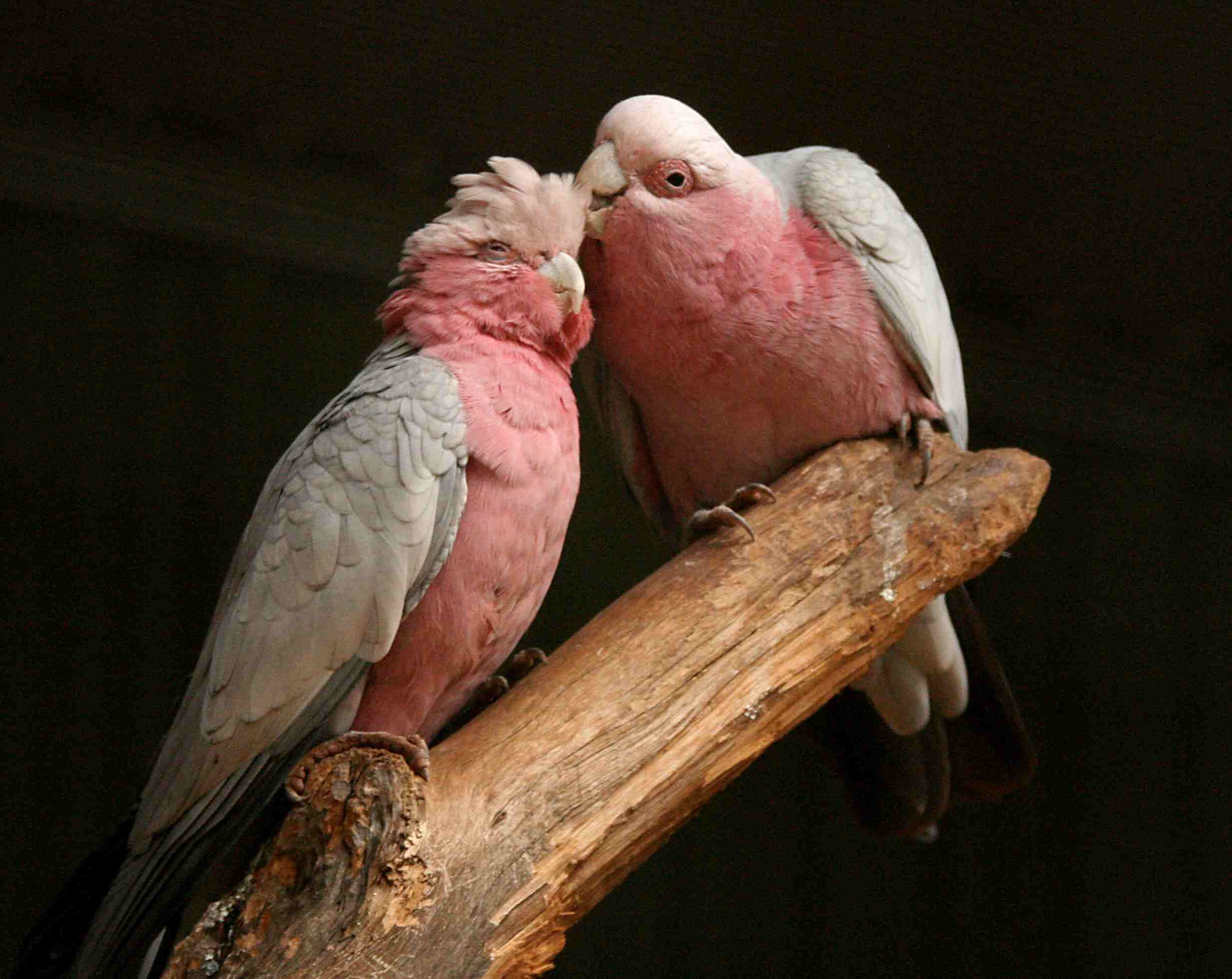 A pair of rose-breasted cockatoos on a branch