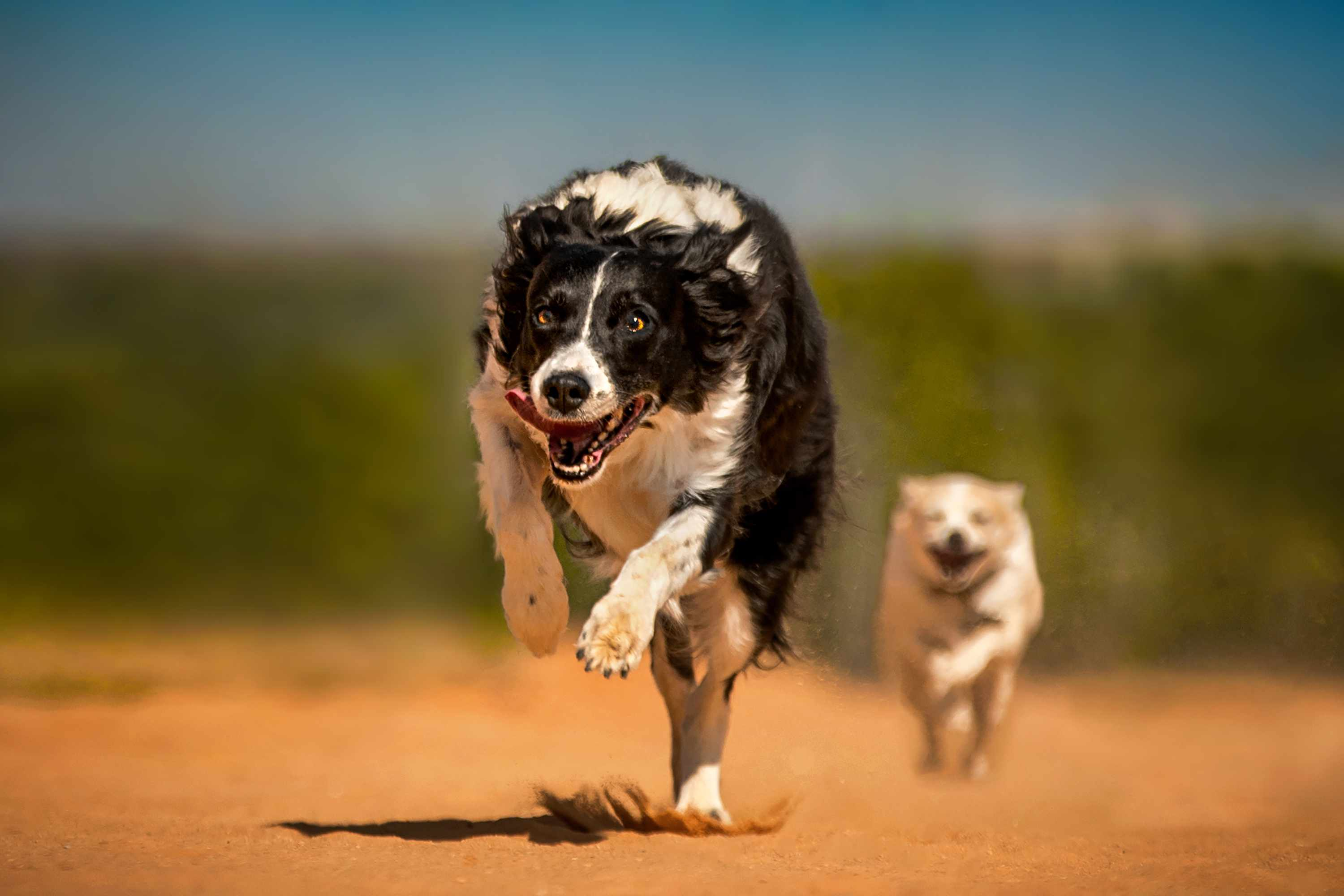 Border Collie running on sand with another dog chasing behind