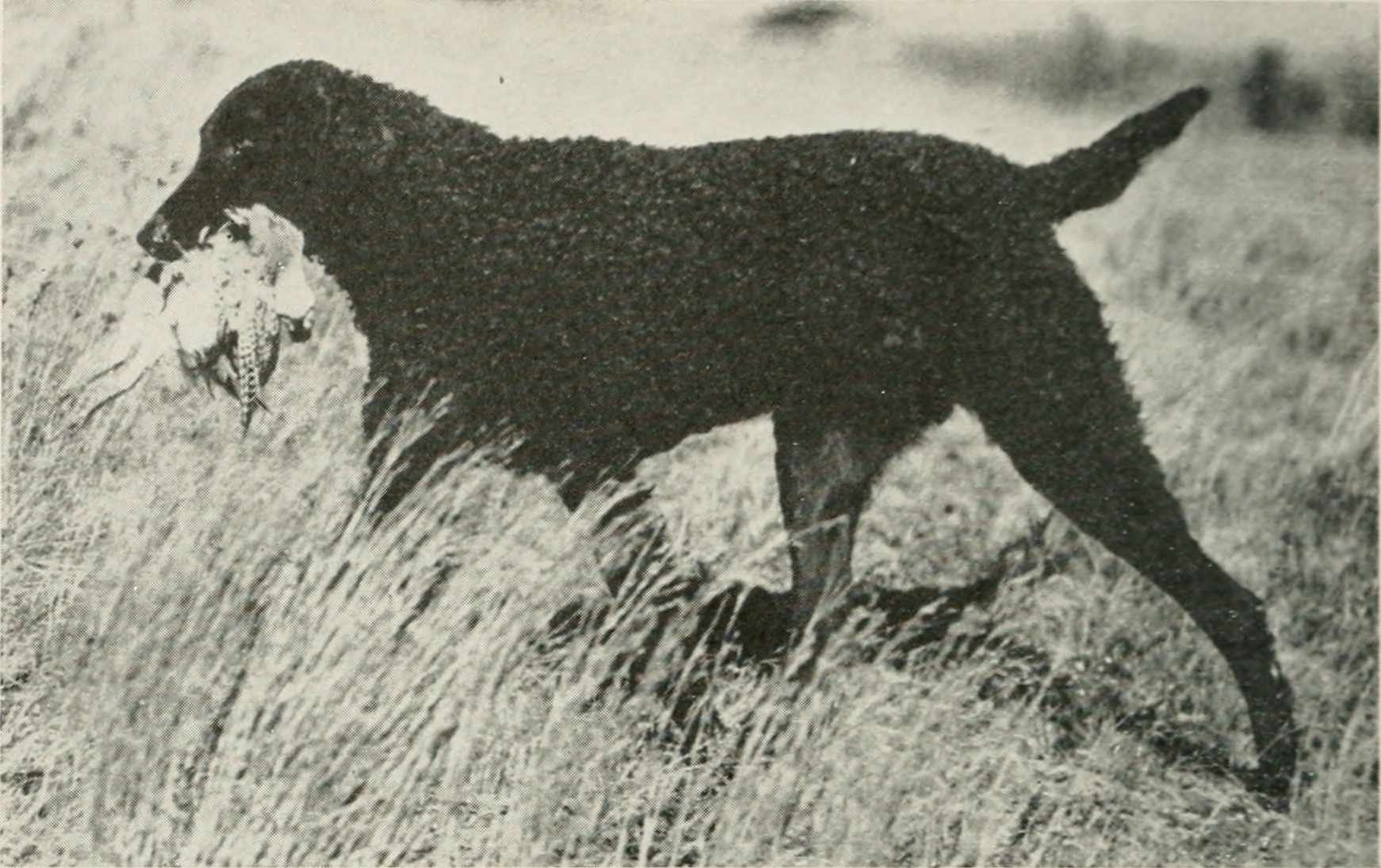 Curly-coated retreiver with gamebird in 1948