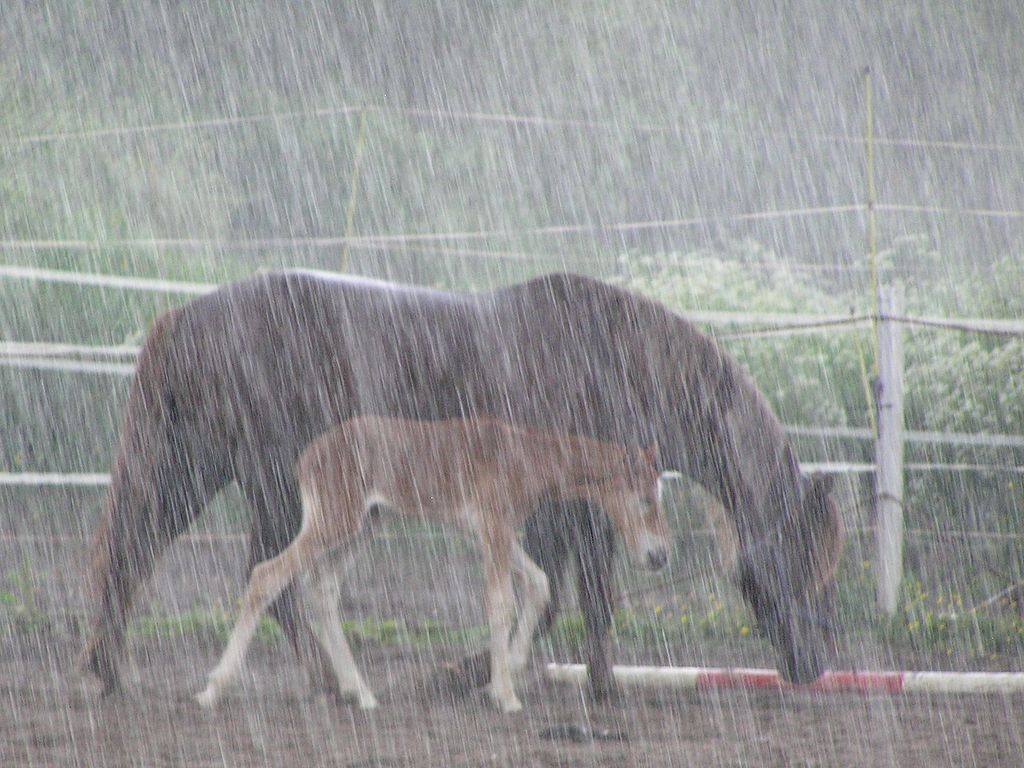 Horses in heavy rain