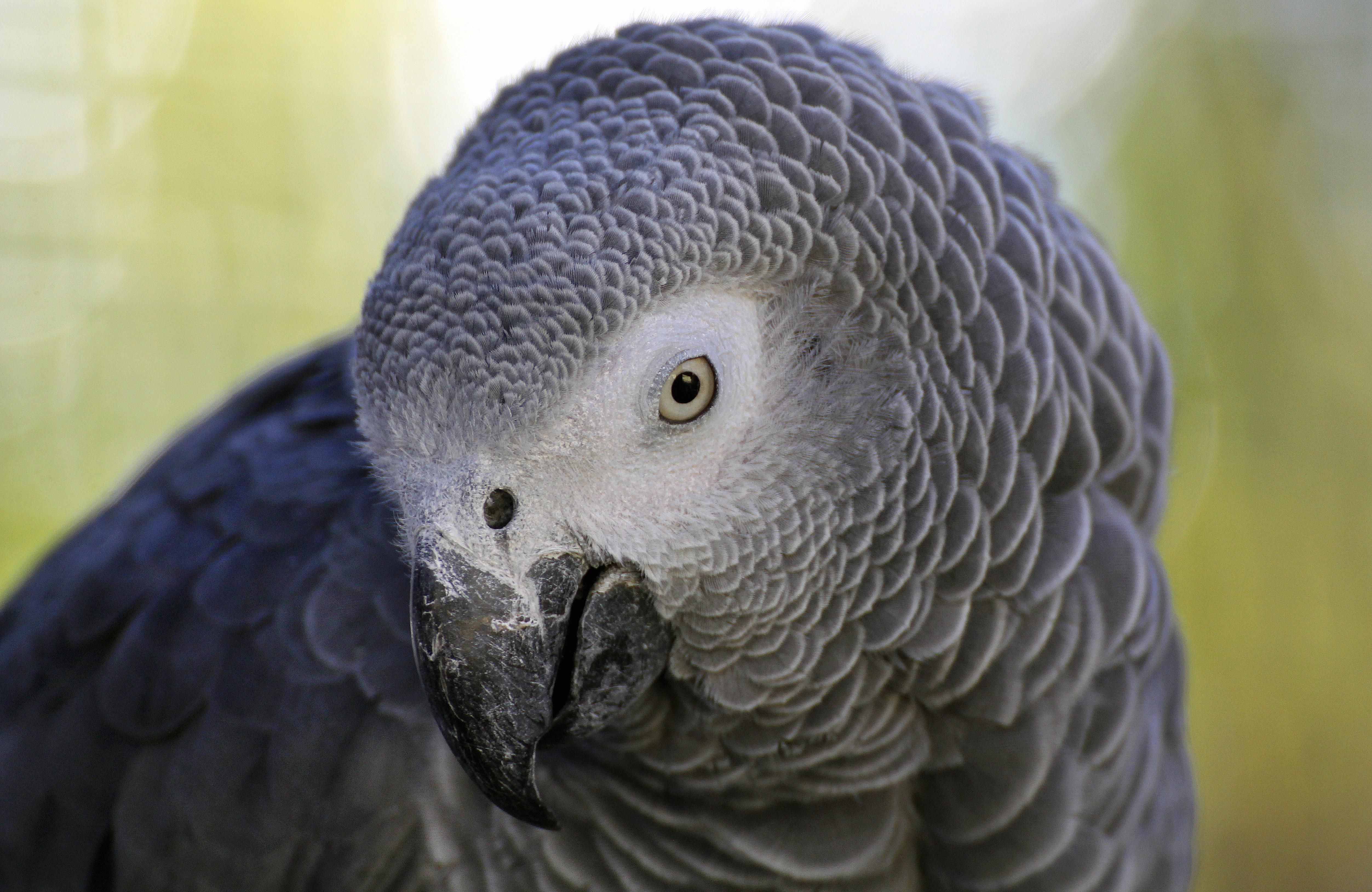 Some African Greys Can Talk