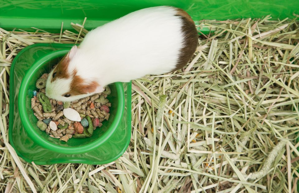 Guinea pig in a cage eating from bowl