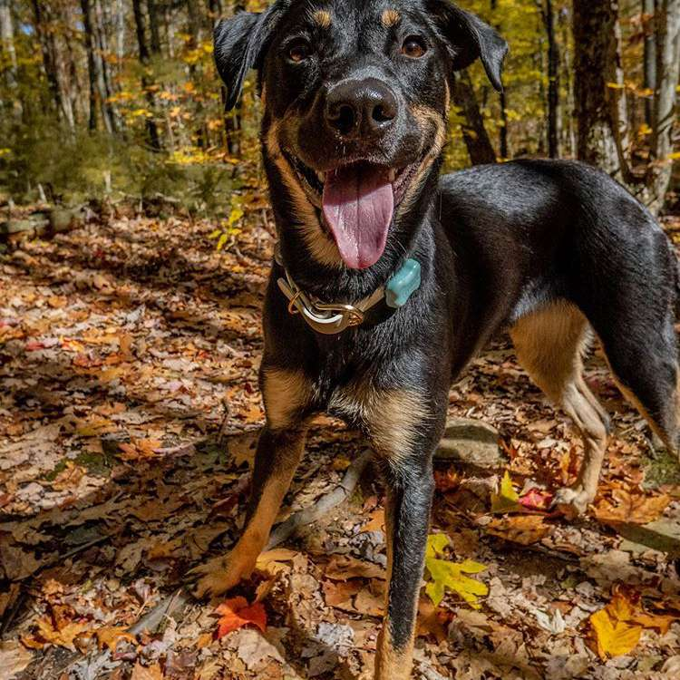 A mixed breed large dog smiling at the camera while walking through the woods.